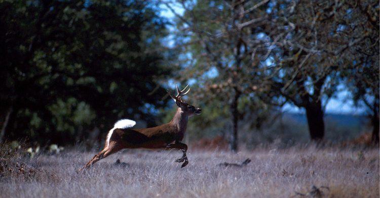 White tailed deer running through a field